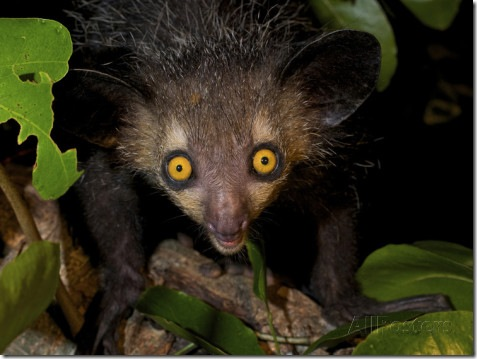 Aye Aye - Daubentonia madagascariensis photo