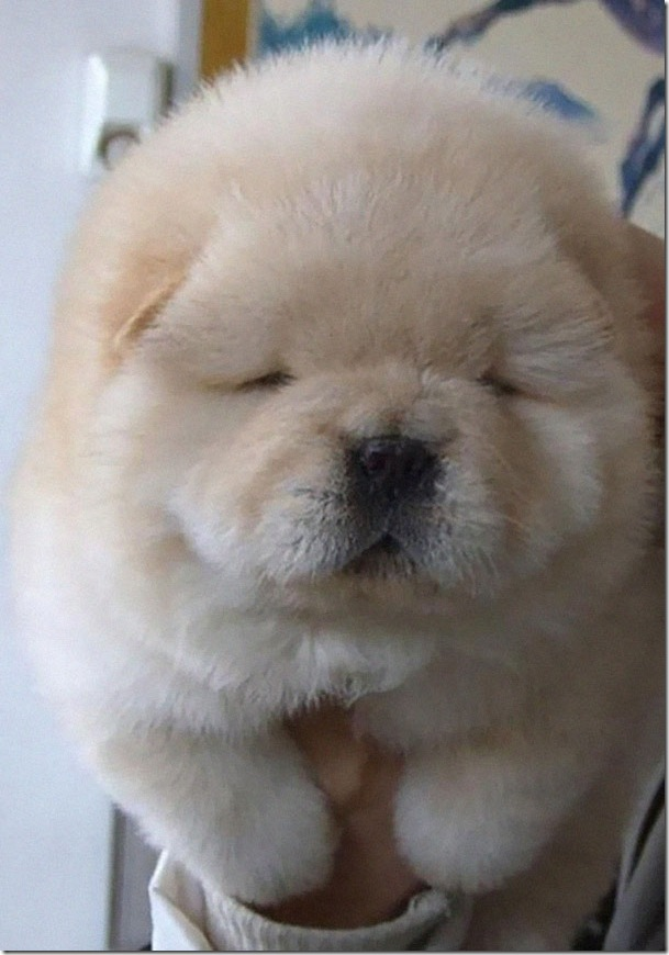 chow chow little puppy photo