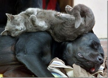 cat sleeps on a back of a dog