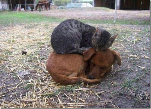 kitten sleeps on dog
