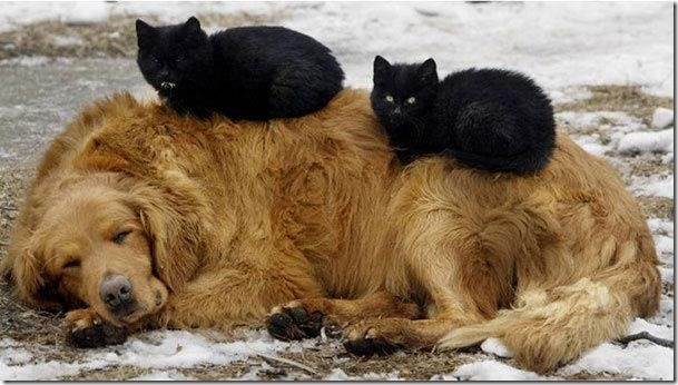 two cats sleep on a dog funny