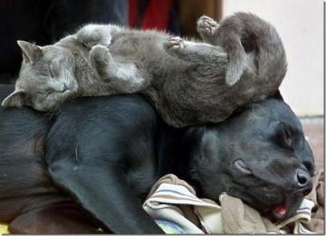 cat sleeps on a back of a dog